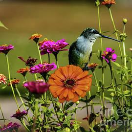 Zinnia Flower Hummingbird by Gary Shindelbower