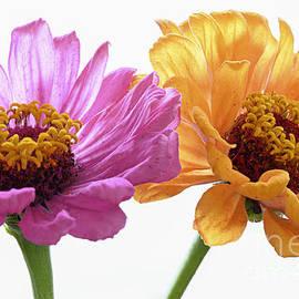 Zinnia Flowers Color and Joy by Loredana Gallo Migliorini