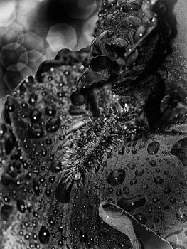 Black Iris and Water Drops by Wayne Gill