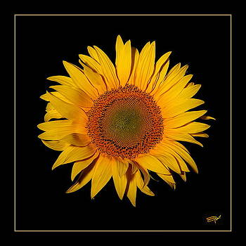Sun Flower by Emil Jianu