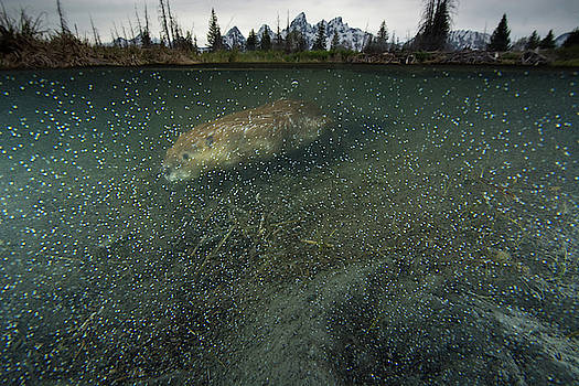 A Beaver Swimming At Schwabacher by Charlie James