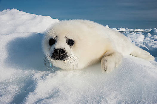A Harp Seal Pup Rests On A Greatly by David Doubilet