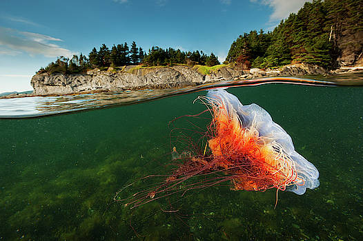 A Lions Mane Jellyfish Drifts In Bonne by David Doubilet