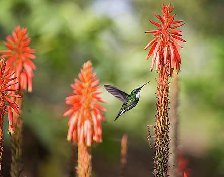A White-throated Hummingbird by Alex Saberi