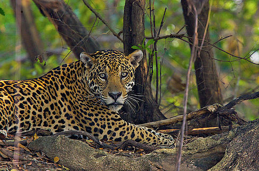 A Wild Jaguar Resting On A Bank by Steve Winter
