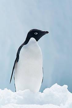 An Adelie Penguin, Pygoscelis Adeliae by Jeff Mauritzen
