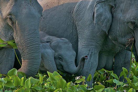 An Indian Elephant Family In Kaziranga by Steve Winter