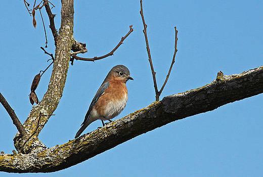 Blue Bird by Karen Harper