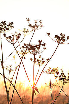 Cow Parsley at Sunset. by Paul Lilley