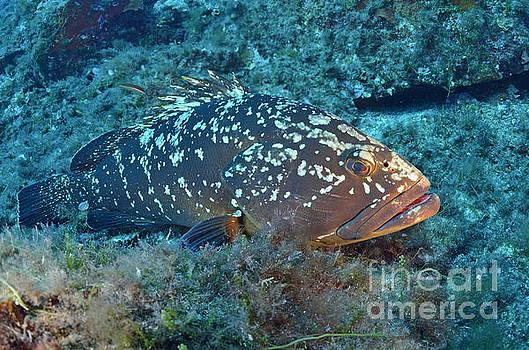Dusky Grouper by Sami Sarkis