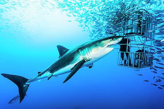 Female Great White Shark, Carcharodon by David Doubilet