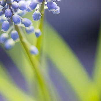 Grape hyacinth by Silke Magino