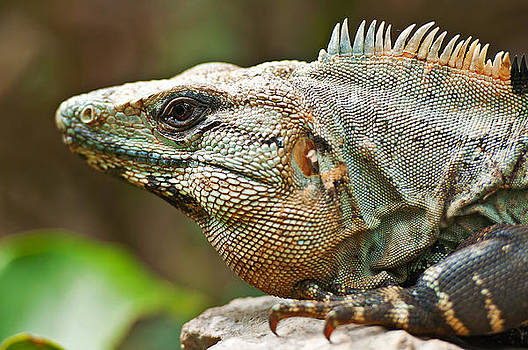 Mexican Iguana by Paul Pascal