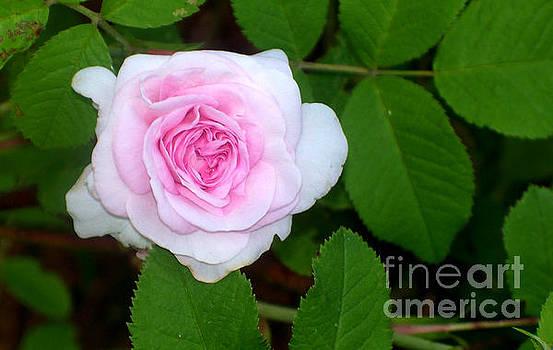 Pink Rose by Steven Valkenberg