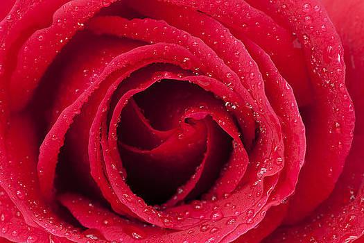 Red Rose by Gillian Dernie