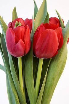 Red Tulips by Gillian Dernie