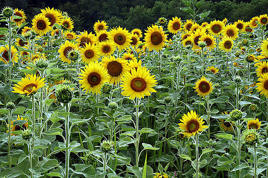 Sunflowers by David Simons