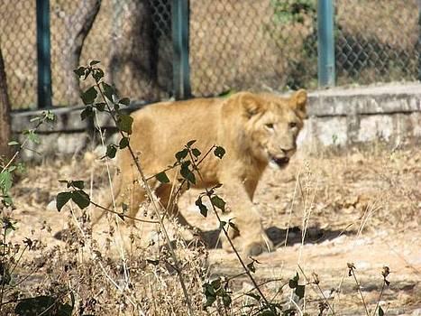 Tiger by Adil
