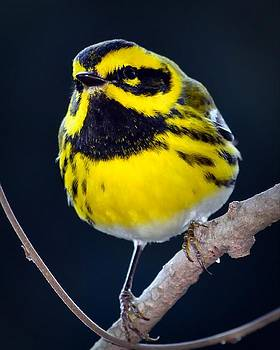 Townsend's Warbler #1 by Don Herd