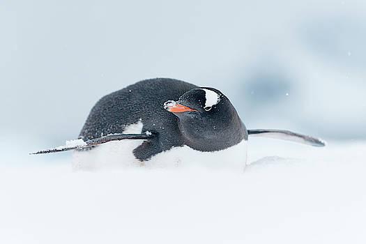 A Gentoo Penguin, Pygoscelis Papua by Jeff Mauritzen