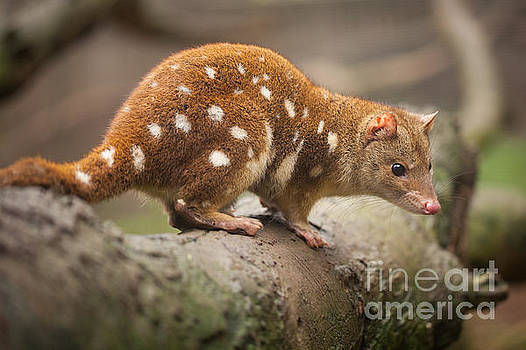 Quoll by Craig Dingle