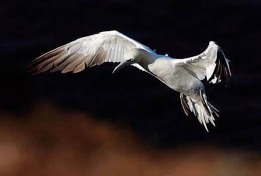Northern Gannet by Grant Glendinning