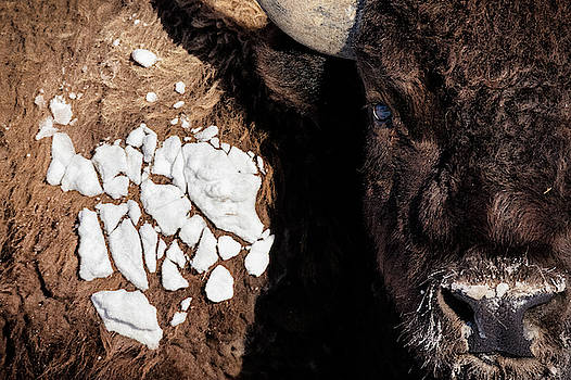 A Bison In The 24,700-acre National Elk by Charlie James
