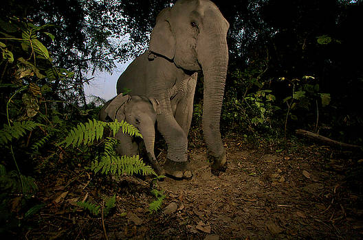 A Camera Trap Captures A Mother by Steve Winter