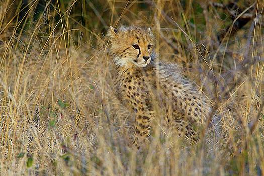 A Cheetah Cub, Acinonyx Jubatus, Sits by Steve Winter