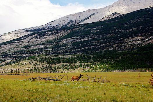 A Female Elk, Cervus Canadensis by Jill Schneider