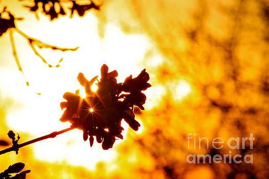 A Forsythia Sunset by Jay Nodianos