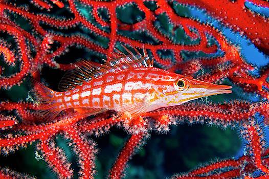 A Longnose Hawkfish In Gorgonian Coral by David Doubilet