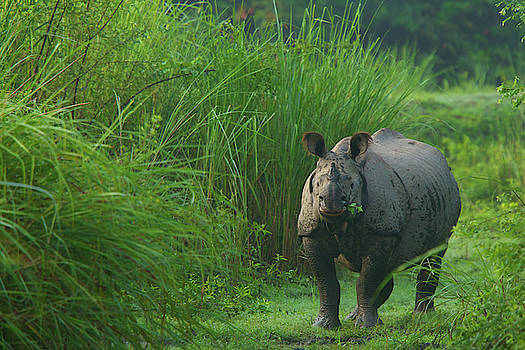 A One-horned Indian Rhinocereos by Steve Winter