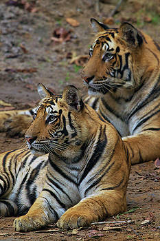 A Pair Of 14-month Old Tiger Cubs Rest by Steve Winter