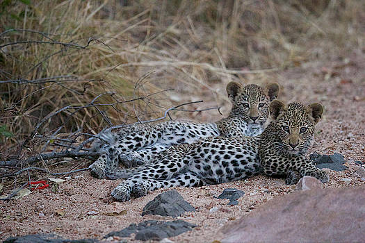 A Pair Of Leopard Cubs Rest In South by Steve Winter