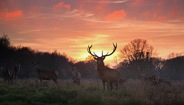 A Red Deer Stag, Cervus Elaphus by Alex Saberi