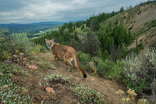 A Remote Camera Captures A Cougar by Charlie James