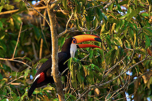 A Toco Toucan, Ramphastos Toco, Perched by Steve Winter