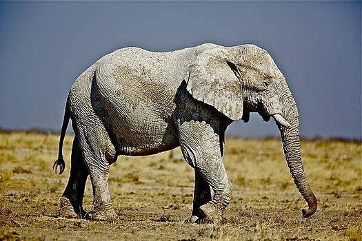 African Elephant by Bruce Colin