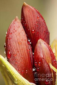 Amaryllis by Meg Rousher
