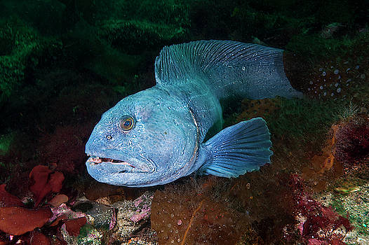 An Atlantic Wolffish Searches by David Doubilet