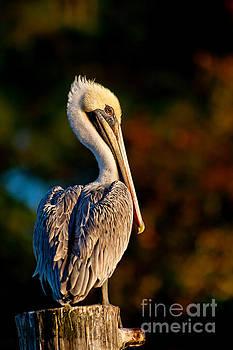 Autumn Brown Pelican by Joan McCool
