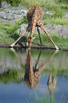 Baby Giraffe Drinks Water by Gordon Donovan