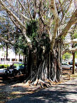 Banyan by Will Boutin Photos