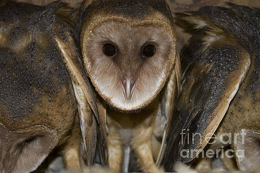 Barn Owls by Reva Dow