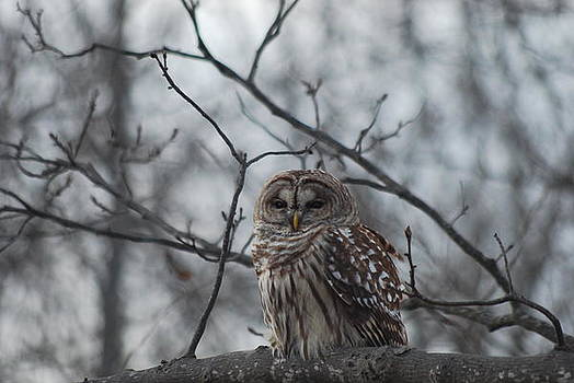 Barred Owl by Lee Yeomans