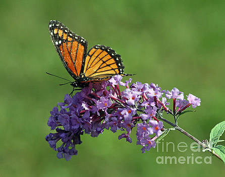 Beautiful Butterfly by Kathy DesJardins