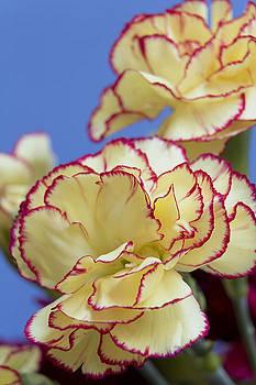 Beautiful Carnations by Dana Moyer