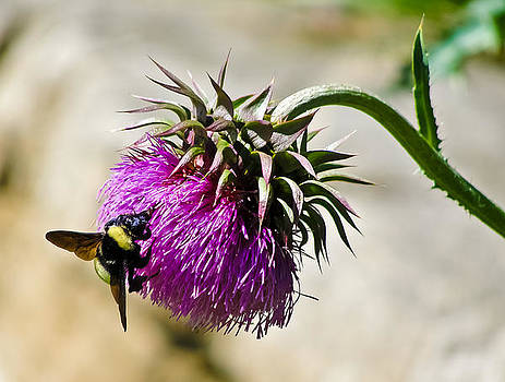 Bee on a Spiky Flower by Mindee Fredman