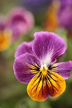 Bi-Color Viola by Pat Lopez